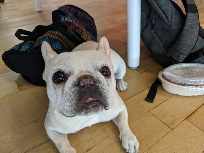 Ruby, an adorable French Bulldog. Click for full size.