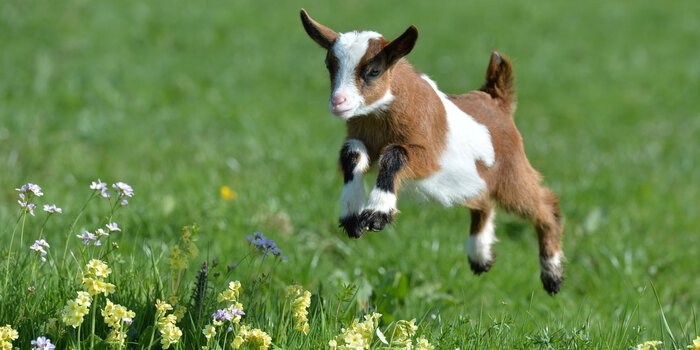 An adorable baby goat.